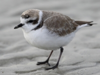6S3A0406Snowy_Plover
