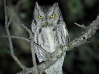 6S3A4833Western_Screech_Owl