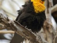 6S3A6005Yellow-Headed_Blackbird