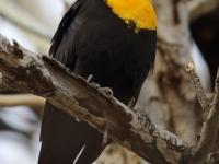 6S3A6014Yellow-Headed_Blackbird