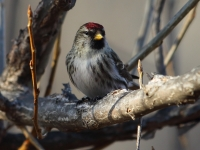 6S3A6833Common_Redpoll