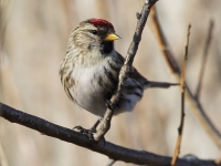 6S3A6846Common_Redpoll