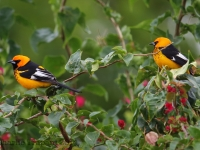 6S3A9078Spot-Breasted_Oriole