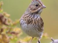 6S3A9449Lincoln's_Sparrow