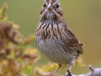 6S3A9455Lincoln's_Sparrow