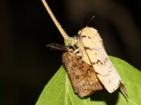 6S3A8091Gypsy_Moths
