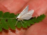 6S3A8110Yucca_moth