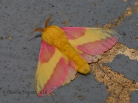 6S3A8144Rosy_Maple_Moth