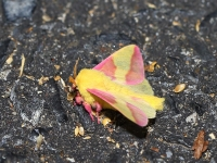 6S3A8151Rosy_Maple_Moth