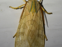 6S3A8170Banded_Tussock_Moth
