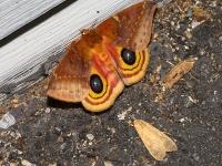 6S3A8202Female_Io_Moth