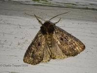 6S3A8240Eyed_Dysodia_Moth