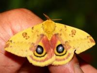 6S3A8317Male_Io_Moth