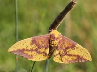 IMG_1918MaleImperialMoth