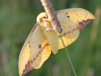 IMG_1941MaleImperialMoth