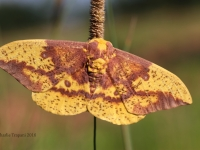 IMG_1947Imperial_Moth_1 copy